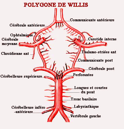 E127 polygonne de Willis.jpg